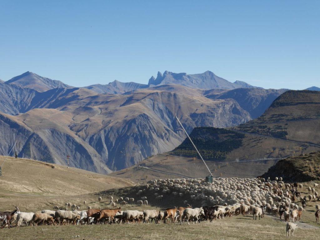 moutons et chèvres sortent de l'enclos