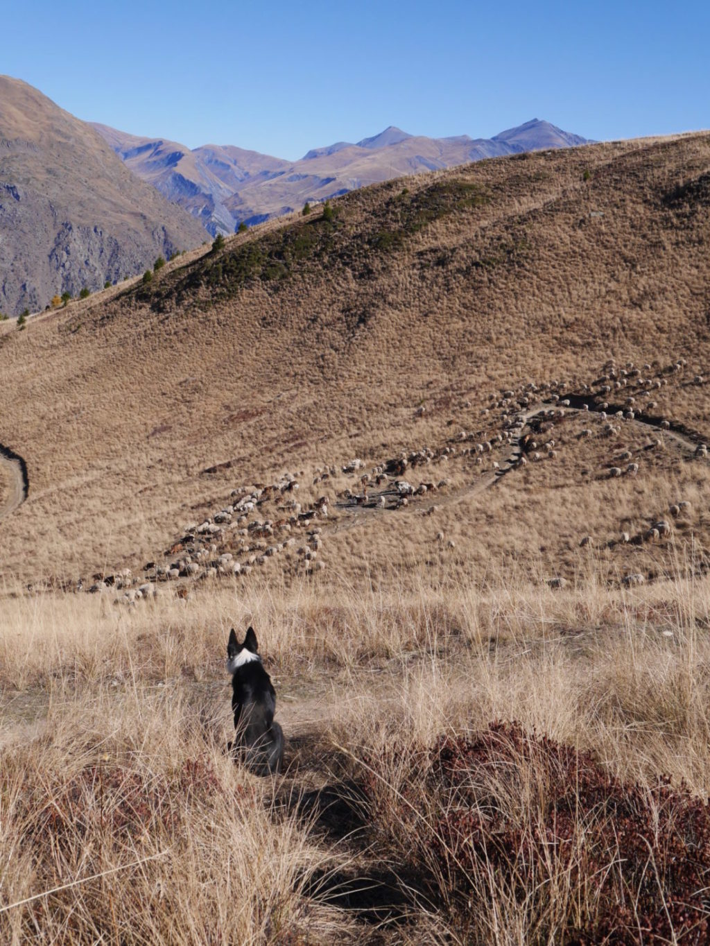 Chien de berger veille sur moutons