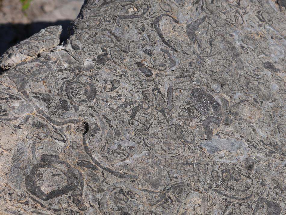 cérithes mollusques gastéropodes