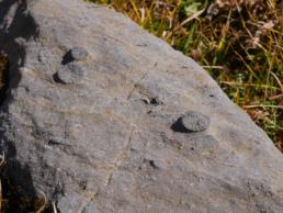 Fossiles coraux platé
