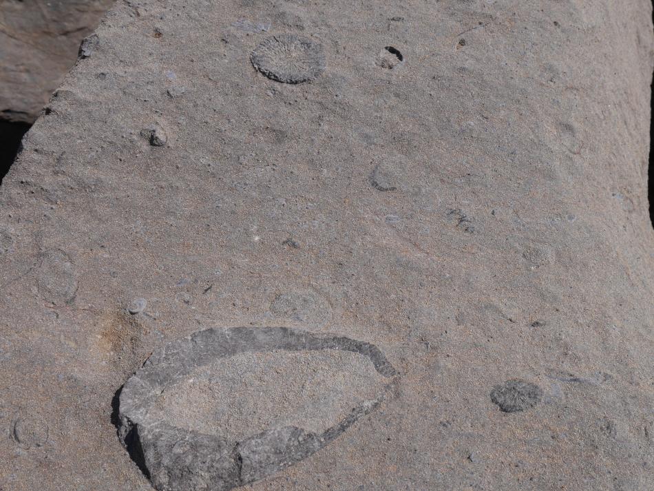 oursins fossile platé