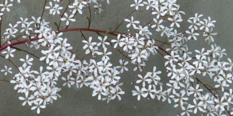 saxifrage cotylédon