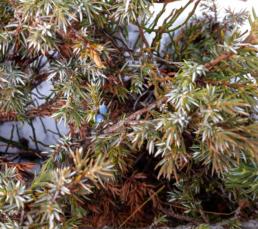 baies de genièvre en hiver