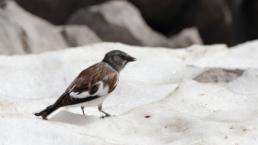 niverolle alpine en hiver