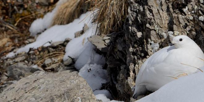 lagopède alpin hiver