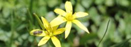 gagée jaune