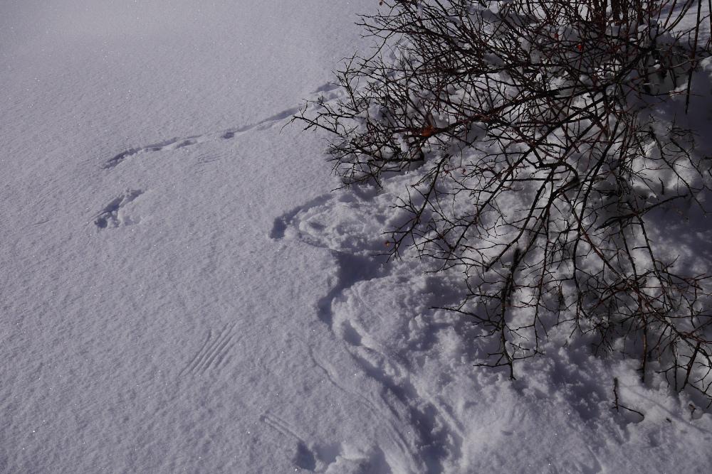traces tétra lyre neige